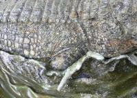 Cretaccroc56