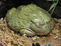 African_bullfrog